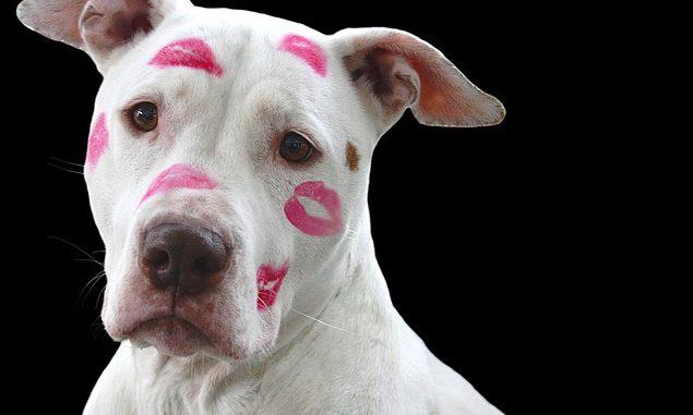 valentin napi állatos képek, pitbull